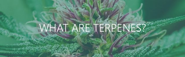 learn-about-cannabis-terpenes