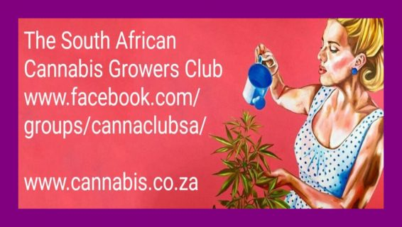 cannabis south africa